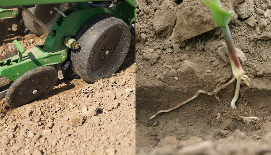 Gauge wheels showing compaction and a plant that has underdeveloped roots.